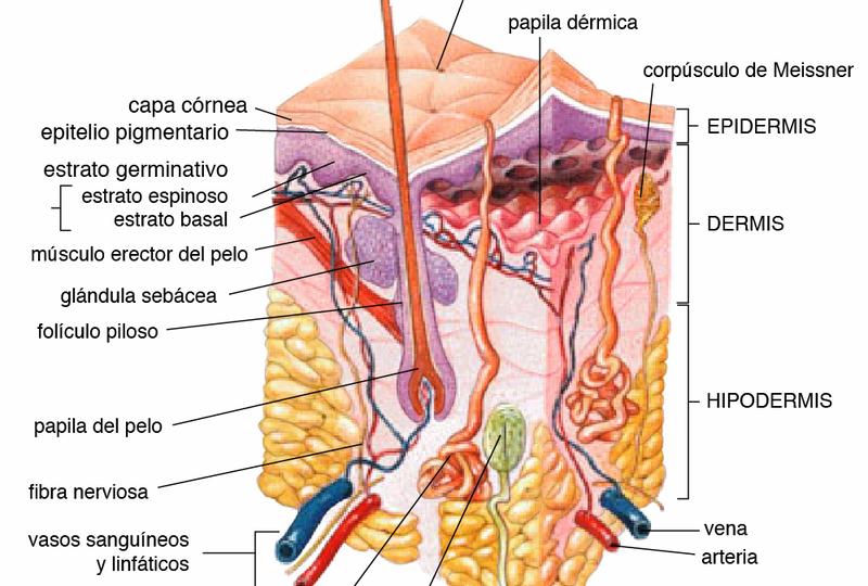 capas de la piel, fisioterapia dermatofuncional